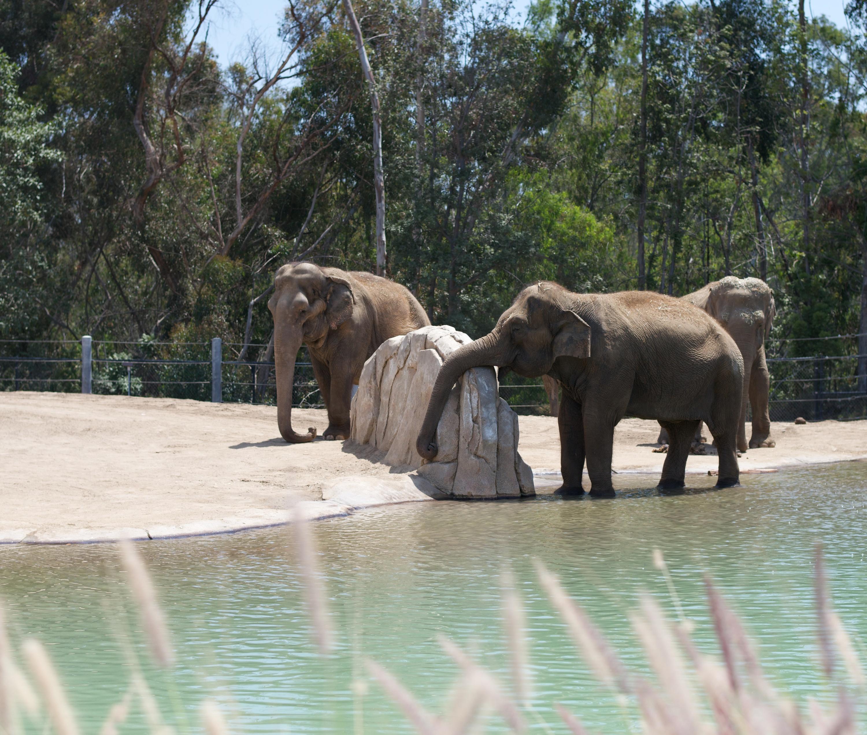 san diego zoo, san diego zoo elephants,