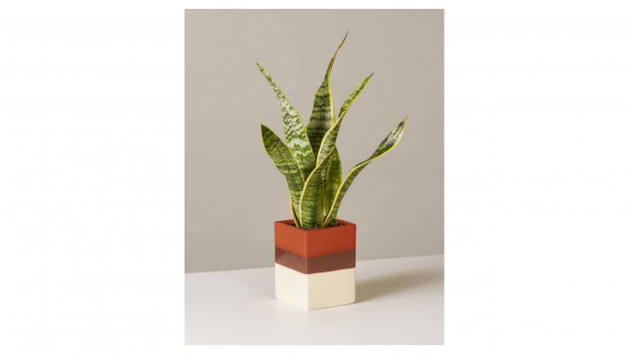 the sill snake plant