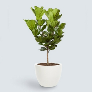 ffddle fig leaf plant, gifts for her